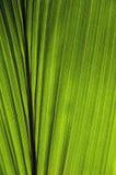 Foglio della noce di cocco Fotografia Stock Libera da Diritti