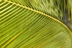 Foglio della noce di cocco Immagine Stock