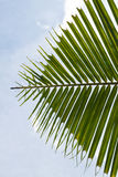 Foglio della palma della noce di cocco Fotografie Stock Libere da Diritti
