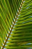 Foglio della palma della noce di cocco Fotografia Stock