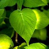 Foglio della pianta Immagini Stock