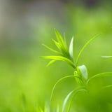 Foglio della pianta del lino Immagini Stock Libere da Diritti