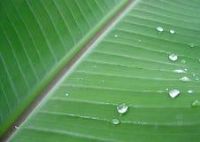 Foglio della pianta di banana con le gocce di rugiada fotografia stock