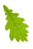 Foglio della quercia Fotografie Stock
