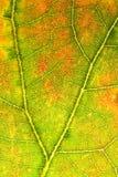 Foglio della quercia bianca Fotografia Stock