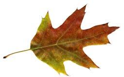 Foglio della quercia di autunno fotografie stock libere da diritti