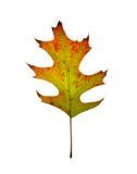 Foglio della quercia di autunno. Isolato. immagini stock libere da diritti
