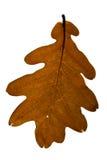 Foglio della quercia di Brown Fotografie Stock