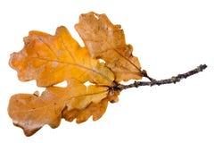 Foglio della quercia gialla Immagine Stock
