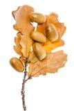 Foglio della quercia gialla Fotografia Stock Libera da Diritti
