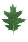 Foglio della quercia isolato Fotografia Stock Libera da Diritti
