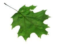Foglio della quercia isolato su bianco Immagine Stock Libera da Diritti