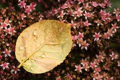 Foglio della Rosa con le gocce sul sedum Fotografie Stock