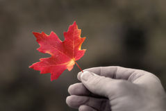 Foglio di autunno della holding Fotografie Stock