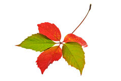 Foglio di autunno isolato immagine stock libera da diritti