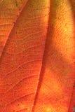 Foglio di autunno - reale Fotografia Stock