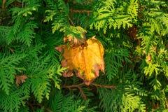 Foglio di autunno sul Evergreen fotografie stock libere da diritti