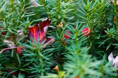 Foglio di autunno sul Evergreen fotografia stock