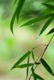 Foglio di bambù verde con le gocce dell'acqua Fotografie Stock Libere da Diritti