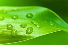 Foglio di bambù fortunato con le gocce dell'acqua Immagine Stock Libera da Diritti