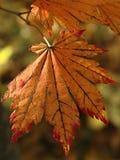 Foglio di colore rosso di autunno Fotografie Stock Libere da Diritti
