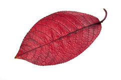 Foglio di colore rosso di caduta Immagine Stock