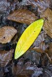 Foglio di decomposizione giallo sul pavimento della foresta Fotografia Stock