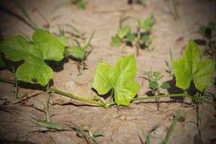 Foglio di grandis della coccinia su terra Fotografia Stock