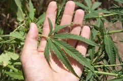 Foglio di marijuana Immagini Stock Libere da Diritti