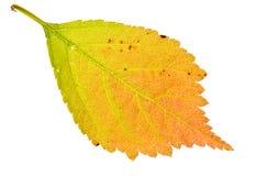 Foglio di sakura di autunno Fotografia Stock