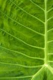 Foglio di una fine della pianta in su Immagine Stock Libera da Diritti
