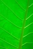 Foglio di una pianta tropicale Fotografia Stock Libera da Diritti