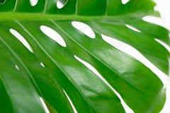 Foglio di verde chiaro Immagini Stock