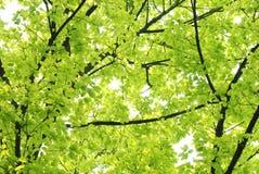 Foglio di verde della natura della sorgente Fotografia Stock Libera da Diritti