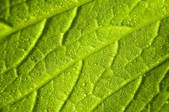 Foglio di verdure Immagine Stock Libera da Diritti