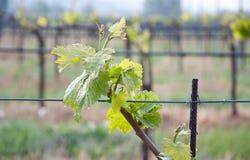 Foglio di Vinegrape in una vigna in paese toscano Fotografia Stock