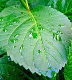 Foglio dopo la pioggia Fotografie Stock Libere da Diritti
