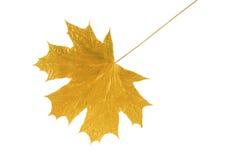 Foglio dorato dell'albero di acero Fotografia Stock