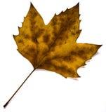 Foglio dorato di caduta (isolato) Fotografia Stock