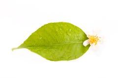 Foglio e fiore del limone Fotografia Stock