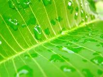 Foglio e waterdrops Immagine Stock