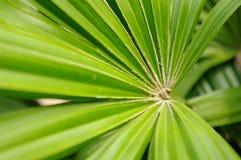 Foglio a forma di ventaglio dell'albero tropicale Fotografie Stock