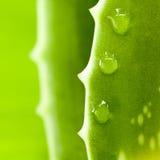 Foglio fresco dell'aloe Fotografia Stock