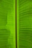 Foglio fresco della banana Immagini Stock Libere da Diritti