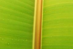 Foglio fresco della banana Fotografie Stock Libere da Diritti