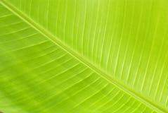 Foglio fresco verde della banana Fotografie Stock
