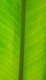 Foglio fresco verde della banana immagini stock libere da diritti