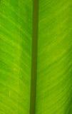 Foglio fresco verde della banana immagine stock