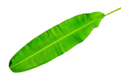 Foglio fresco verde della banana isolato con il picchiettio di residuo della potatura meccanica Immagine Stock Libera da Diritti