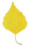 Foglio giallo di autunno della betulla Fotografia Stock